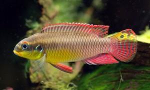 Pelvicachromis taeniatus, nigeria red